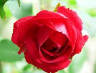 *Gartenrose*