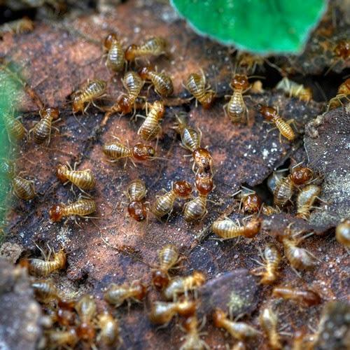 Houston termites