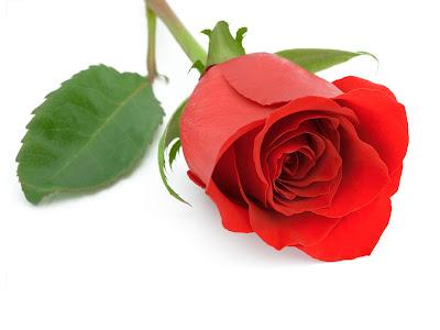 Rose Red Rose