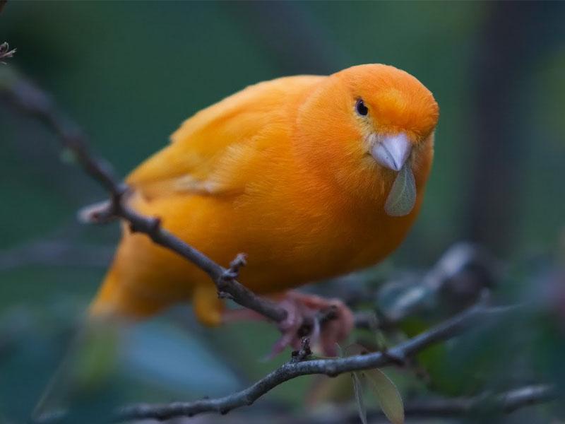 burung kicauan kenari dari pejantan yang berkualitas dimana ciri ciri