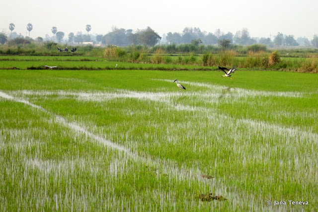 Sukhothai rice fields