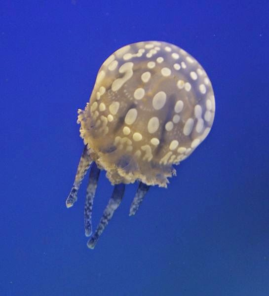 Beautiful photo of a white spotted jellyfish