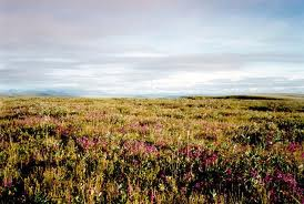 tundra plants and grasses