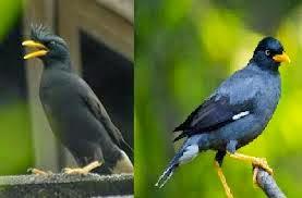 Perbedaan  Burung Jalak Jantan dengan Jalak Betina