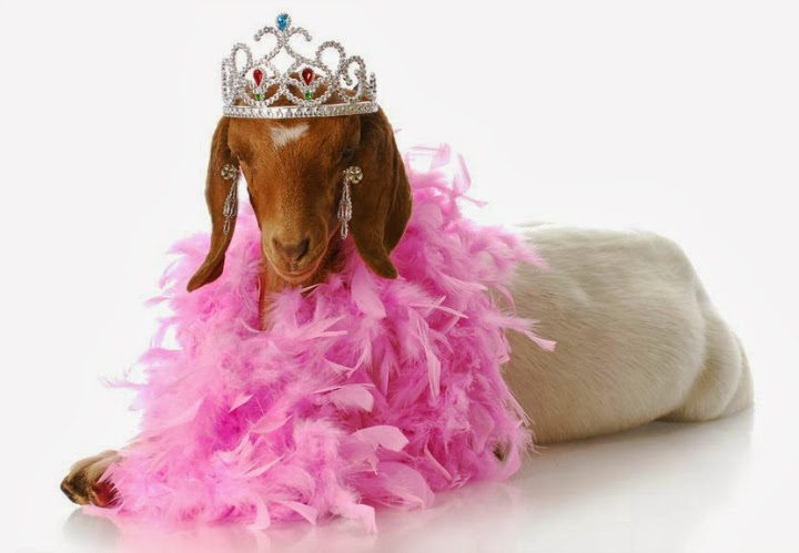 princess goat, goat in tiara, goat wearing a boa, diva goat, brown and white goat, pretty goat, lady goat