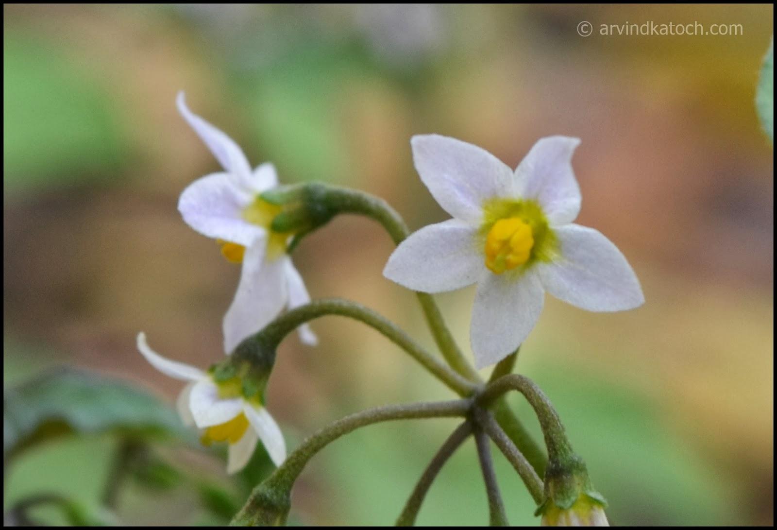 white flowers, yellow center, micro flowers