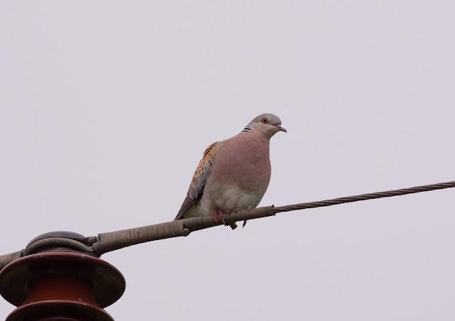 Turtle Dove - Oxfordshire