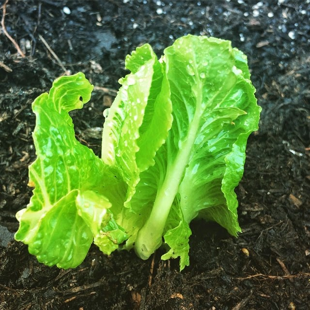 romaine lettuce from scraps