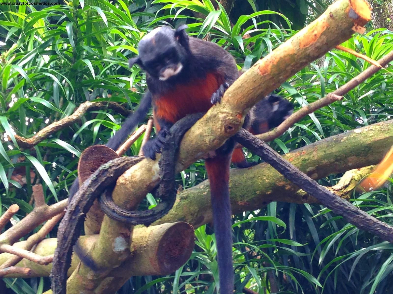 Singapore zoo monkeys- singapore zoo location-singapore zoo rainforest
