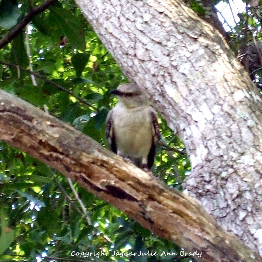 Adult Mockingbird Protective Behavior 13