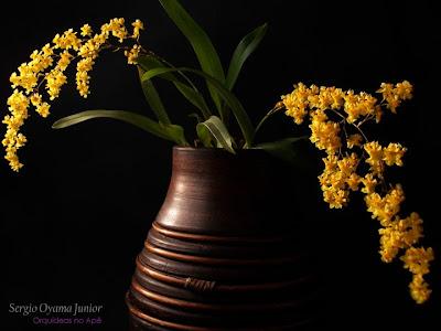 Arranjo com micro-orquídea Oncidium Twinkle 'Yellow Fantasy'