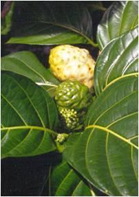 Benefits Of NONI (Morinda Citrifolia)