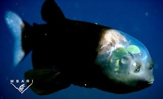 Kepala Ikan Transparan