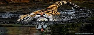 Couverture Facebook tigre nageur