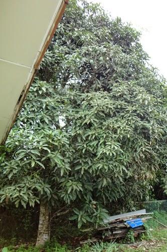 Mangga berbuah di belakang rumah, gambar buah mangga, pokok mangga
