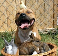 Pit bull smiling, in a basket full of bunnies