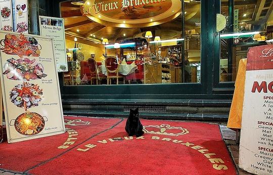 Cat from Brussels, Belgium