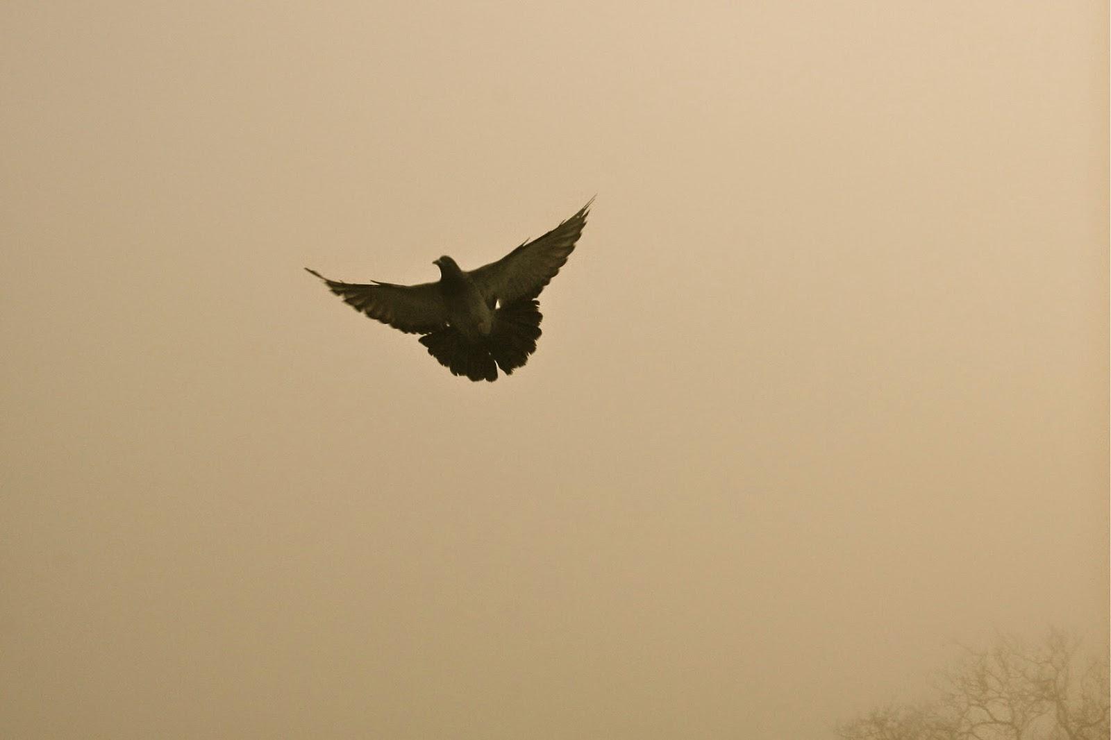 pidgeon in flight