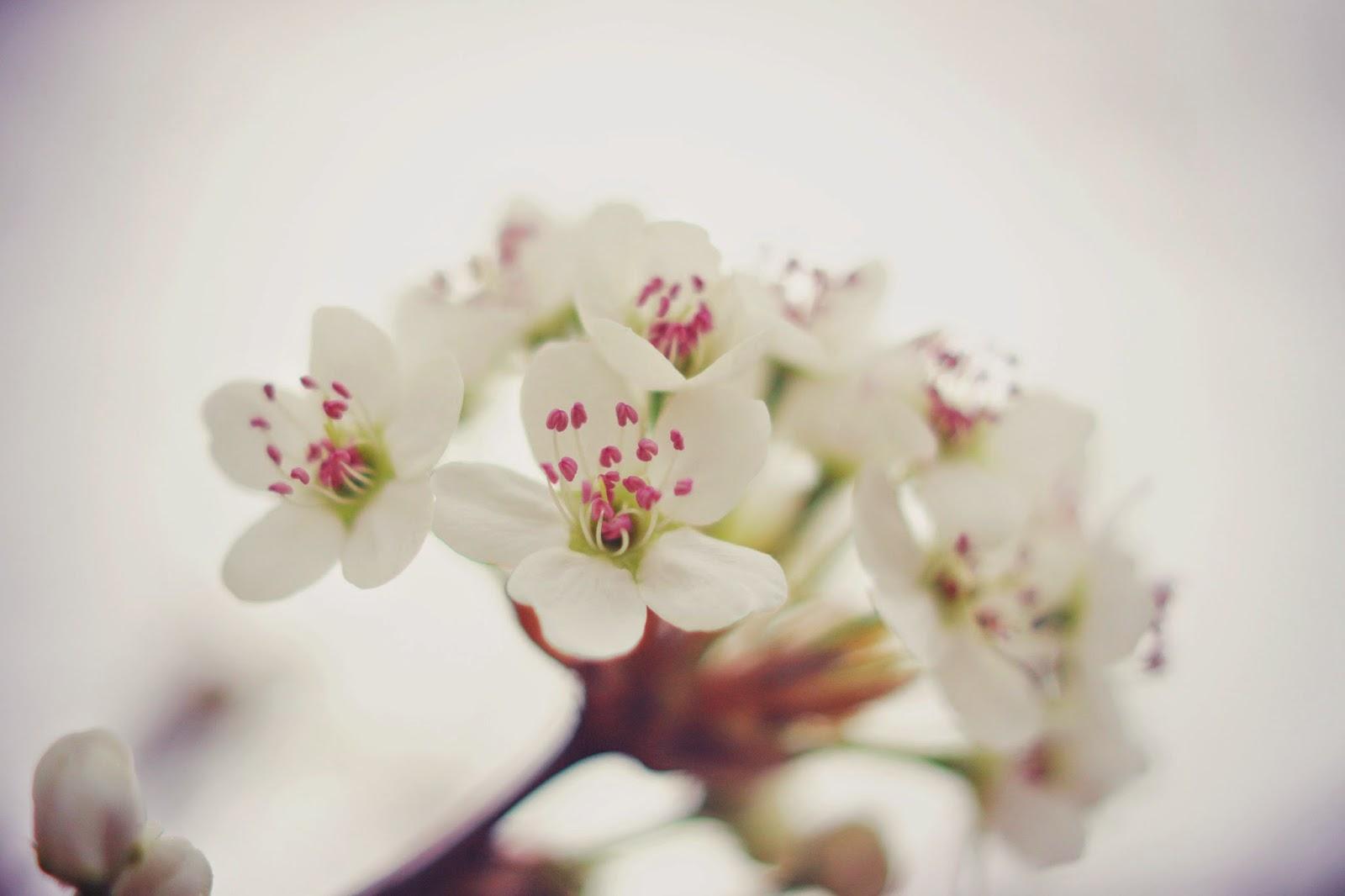 spring_blossom_Bradford_Pear_Tree
