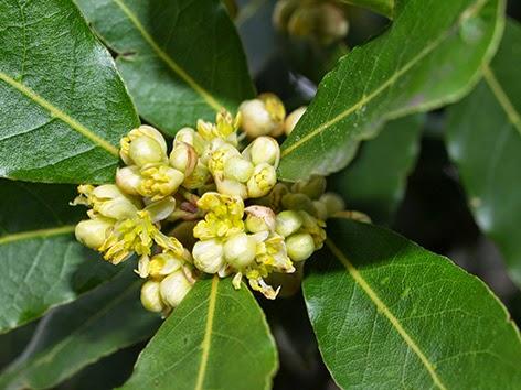 Laurel (Laurus nobilis)flor amarilla