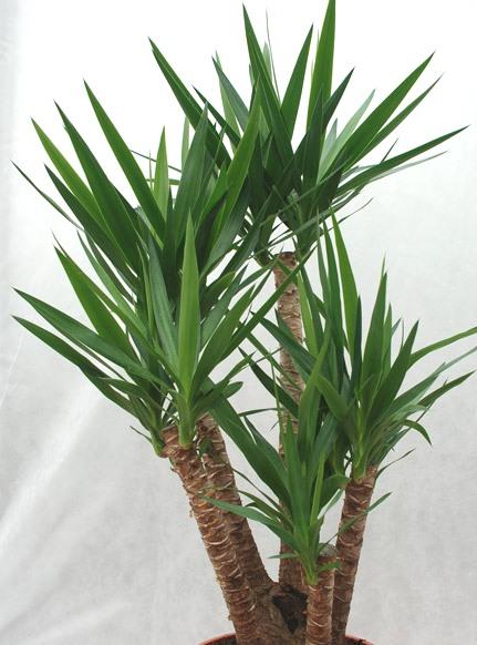 Yucca (tronco Della Felicità)
