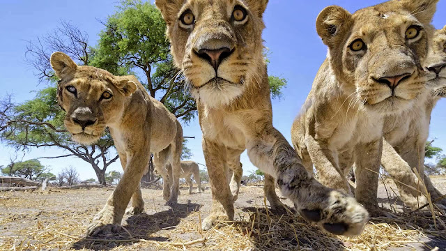 RC camera car meets a pride of lions (22 pics + video), up close and personal with a group of lions, Chris McLennan lion photos, amazing lion pictures