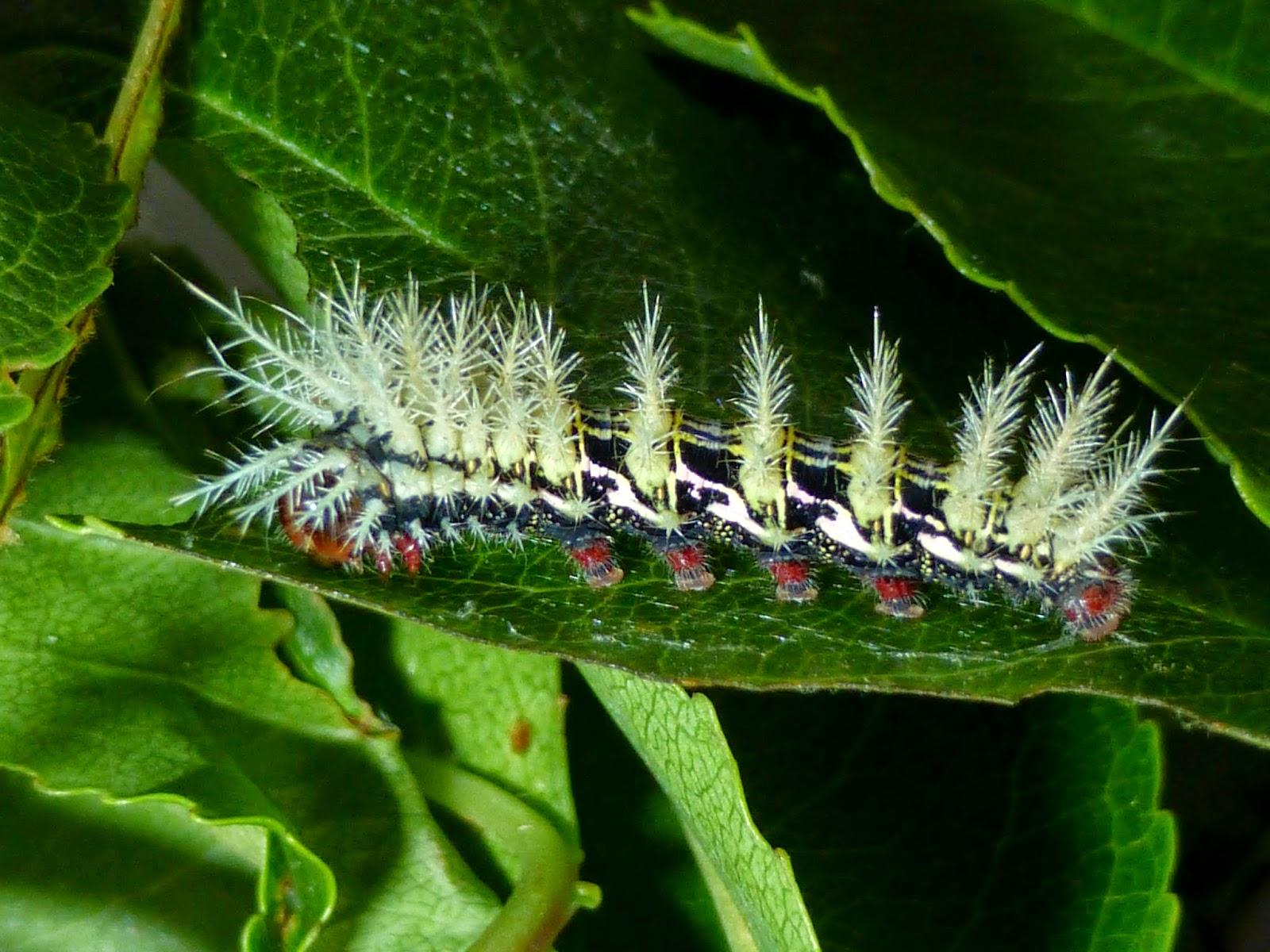 Automeris naranja caterpillar L4