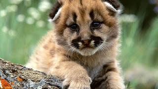 Beautiful Lion Baby HD Wallpaper