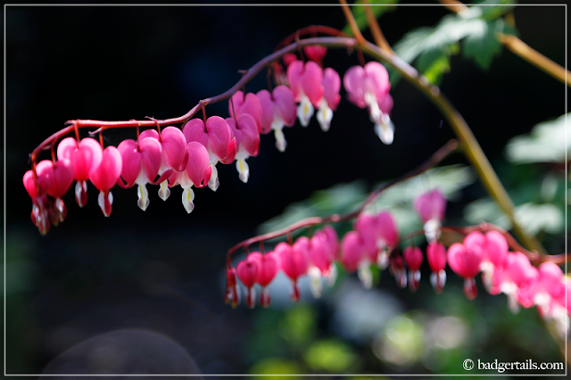 Pink Dicentra Spectabilis (Bleeding Hearts) Flowers in Sunlight