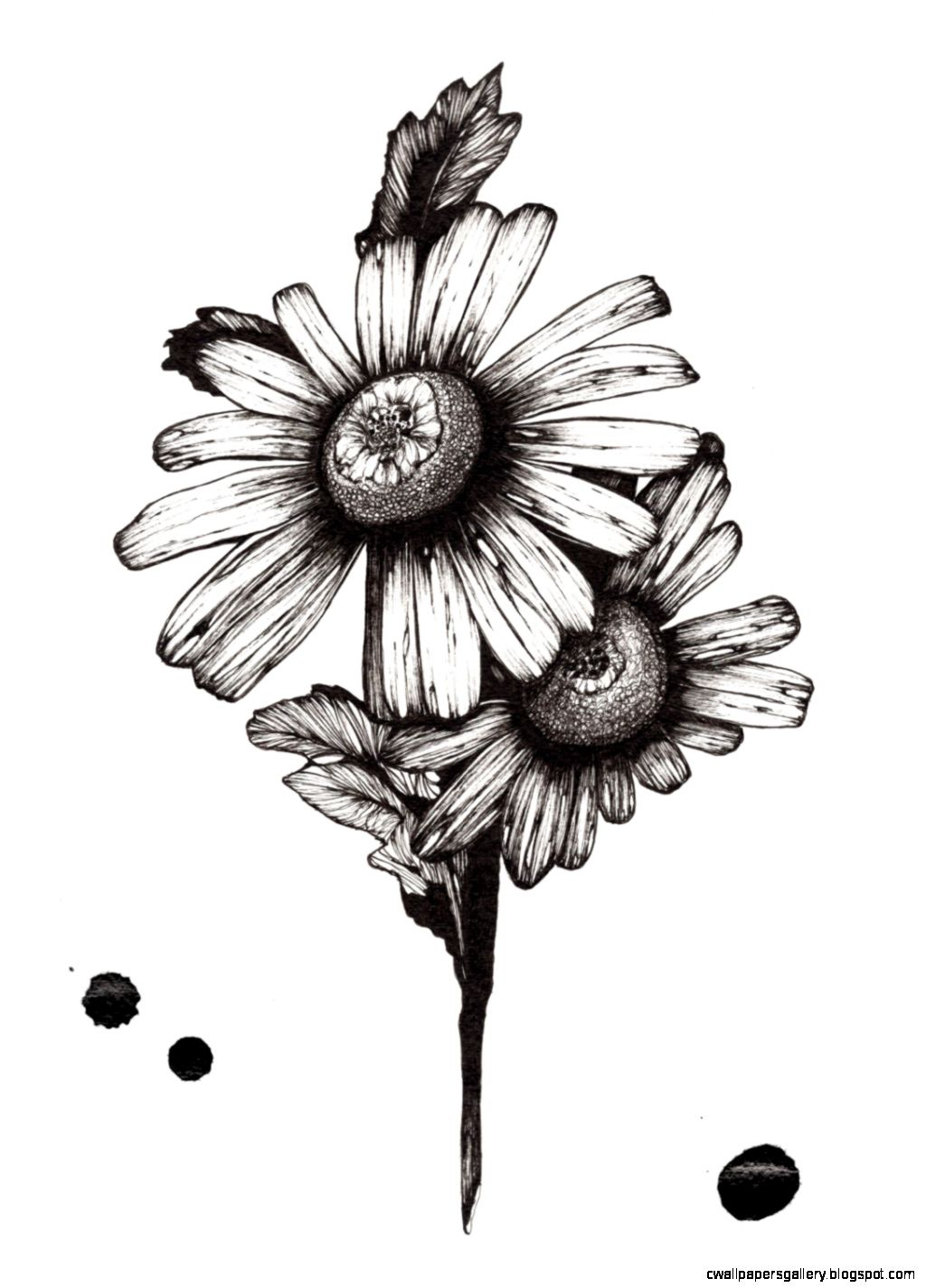 Daisy Flower Drawing Tumblr