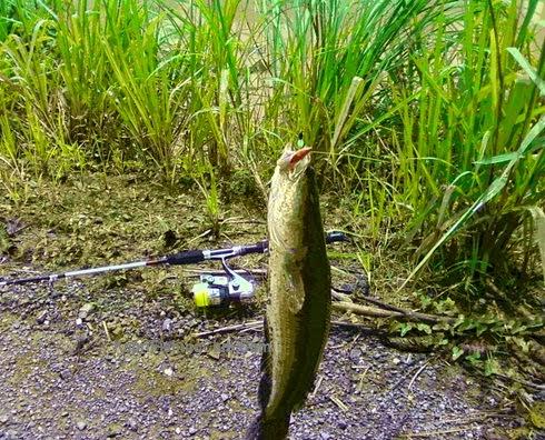 Tips Cara Mancing Ikan Gabus