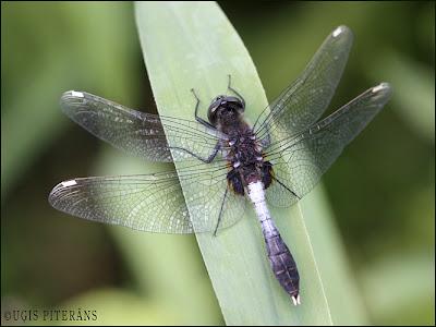 Resnvēdera purvuspāre (Leucorrhinia caudalis)