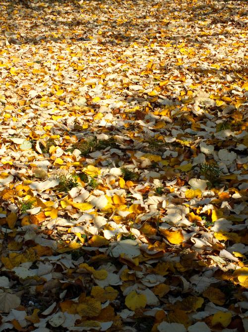 Beiget Kok : Lihat lah daundaunan Tilleul yang berguguran semakin tebal lapisan
