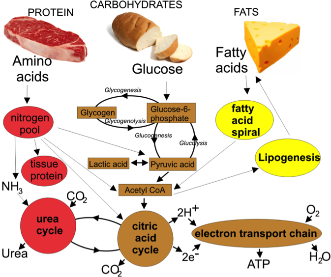 Energy metabolism, fuel selection and body weight regulation