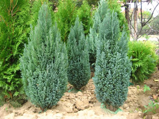 Arte y jardiner a chamaecyparis lawsoniana y sus variedades for Pinos para jardin