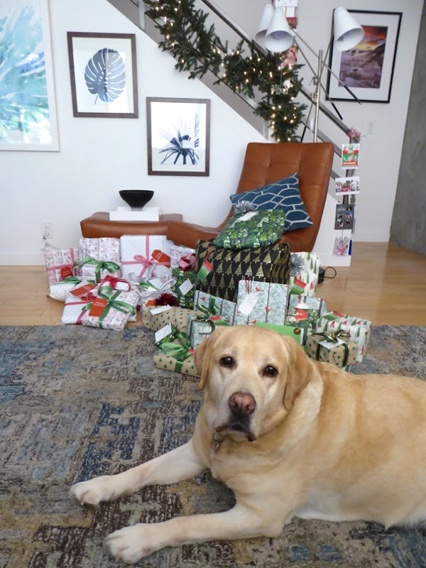 Christmas presents guarded by Labrador Cooper