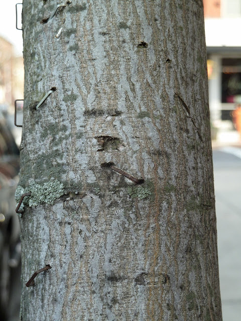 Amelanchier bark