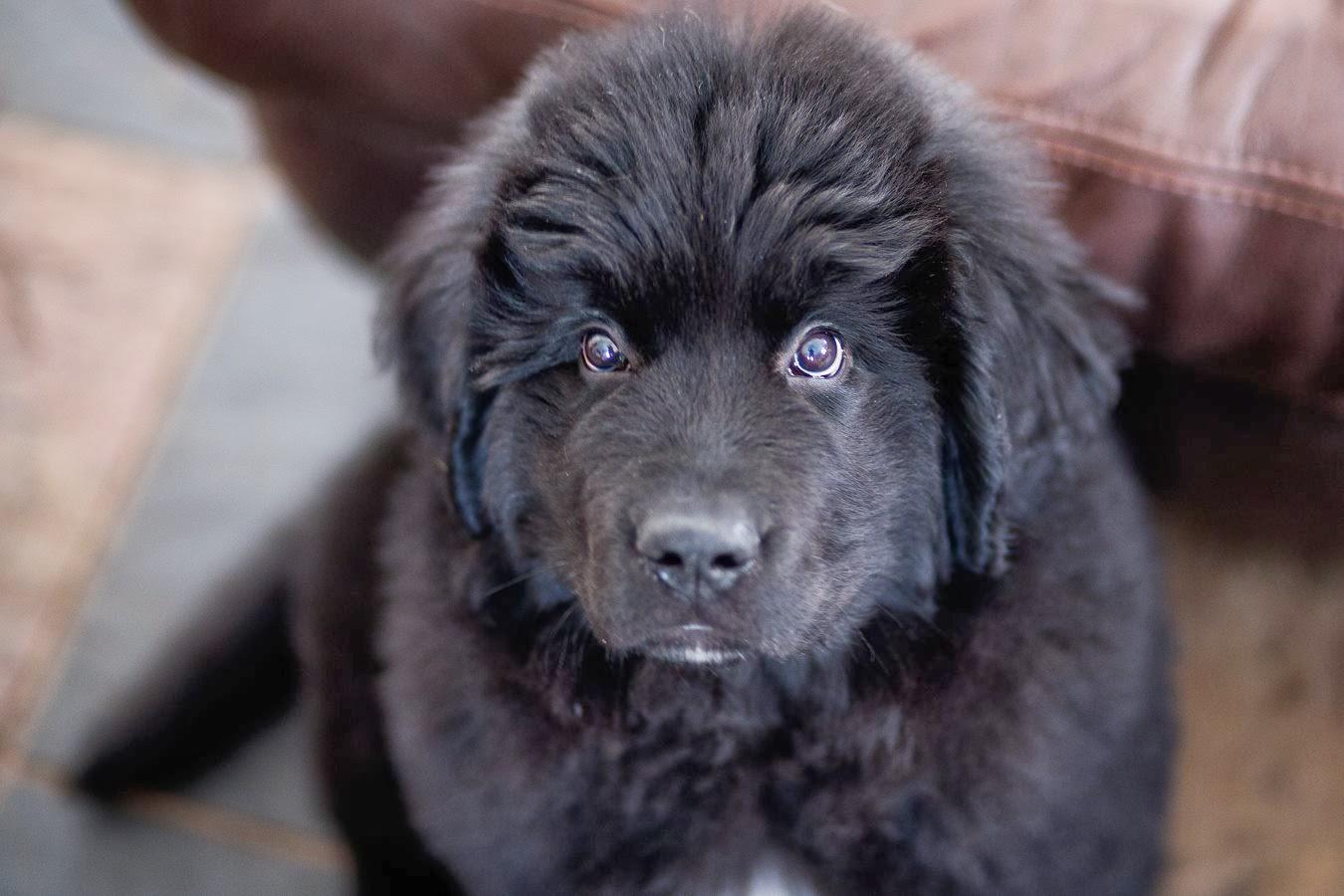 Newfoundland Dog Rescue Ontario