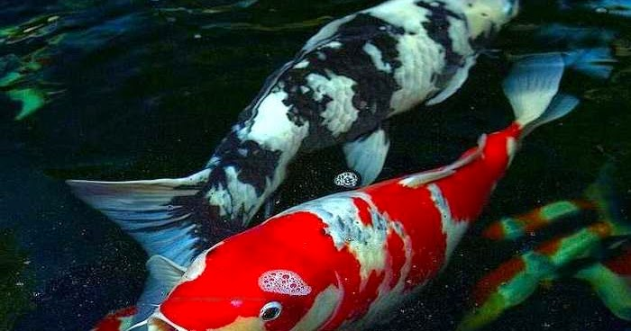 Gambar Foto Hewan: gambar ikan koi yang bagus