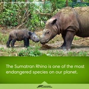 sumatra rhino badak sumatra