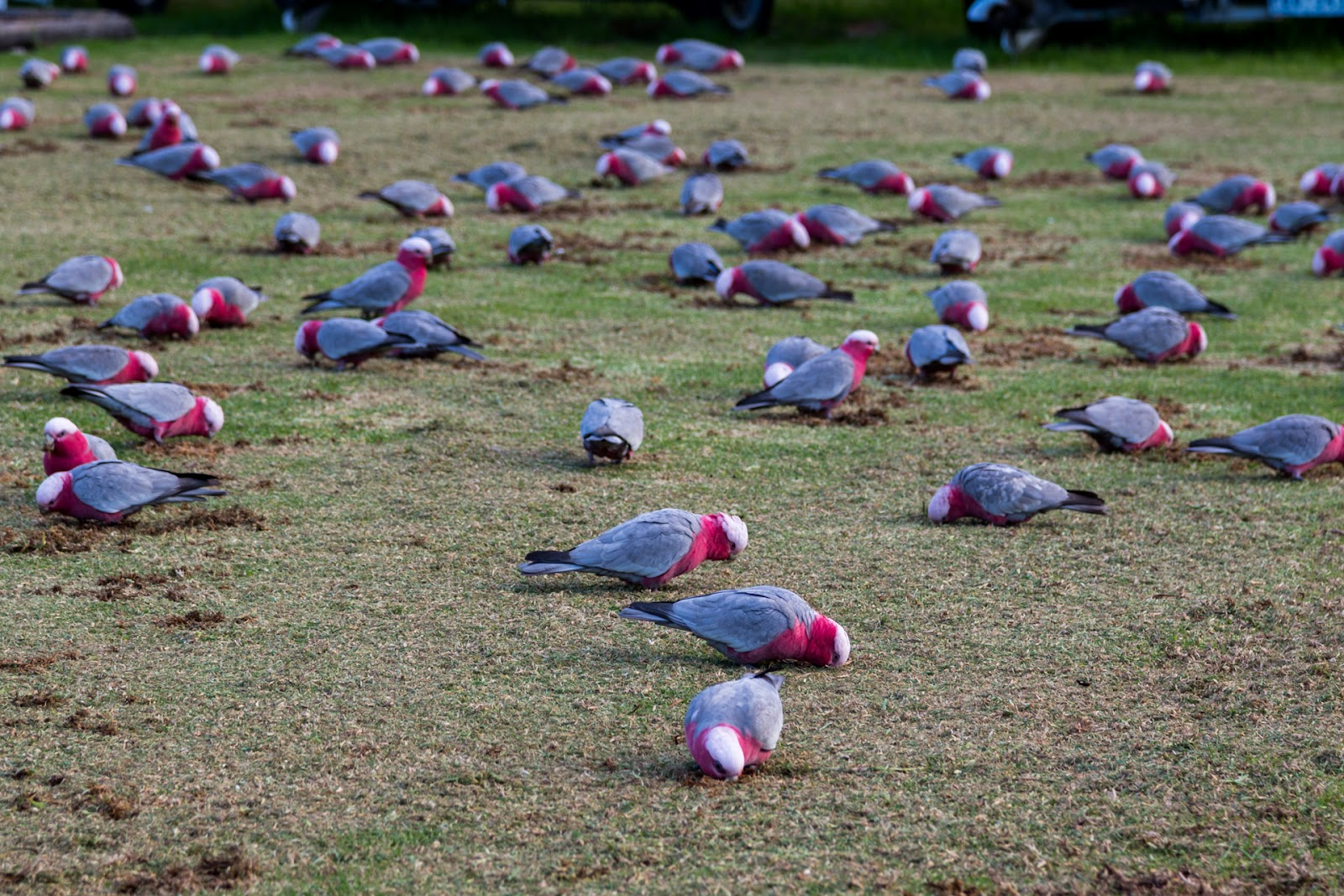 large group of galahs on grass