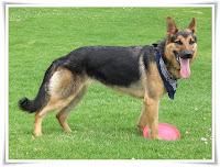 German Shepherd Animal Pictures