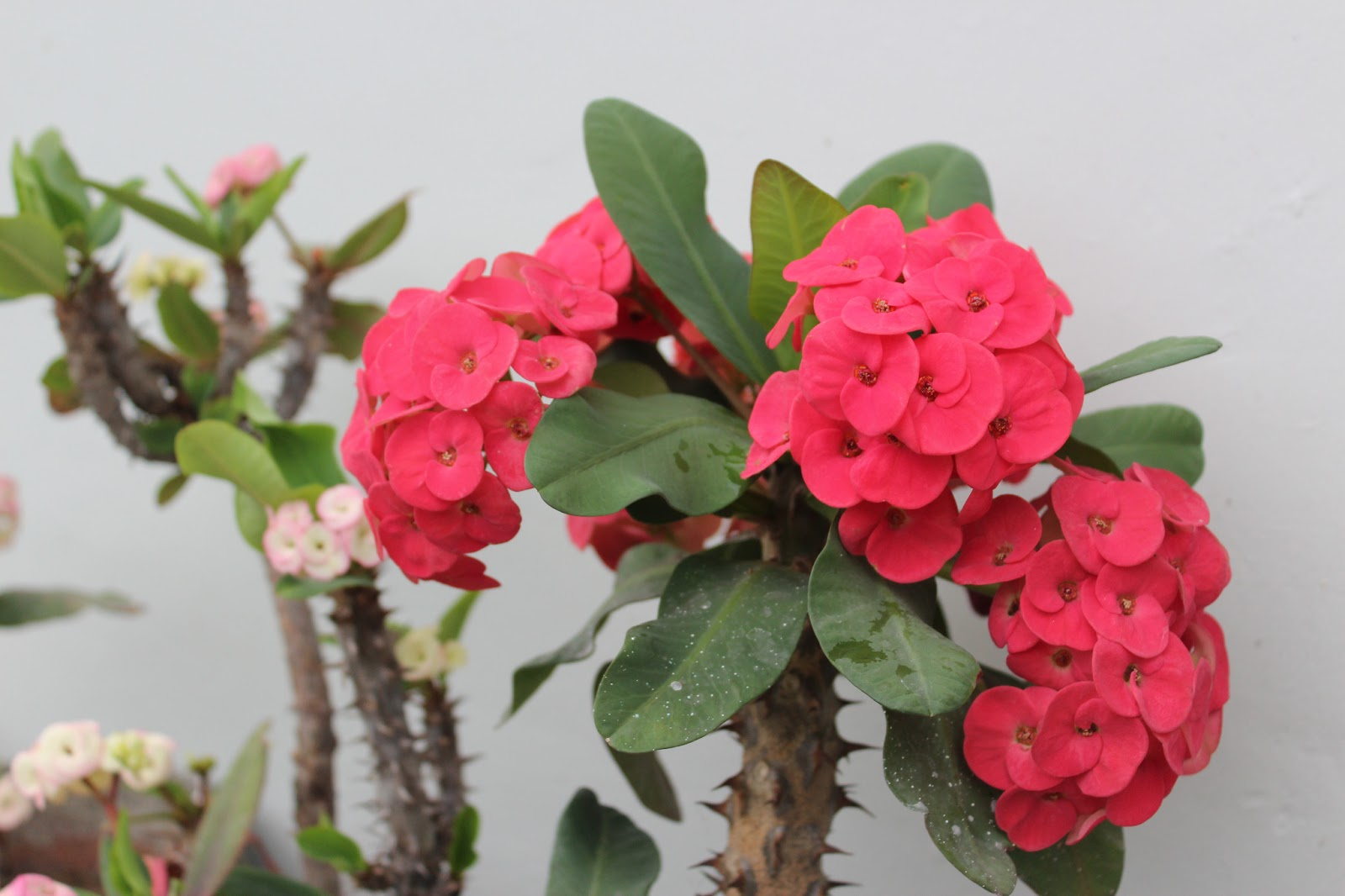Gardening for starters flowering plants this plant is very easy to maintain as it needs very little water and a lot of sun which is not a problem in the philippines the blooms last very long and izmirmasajfo