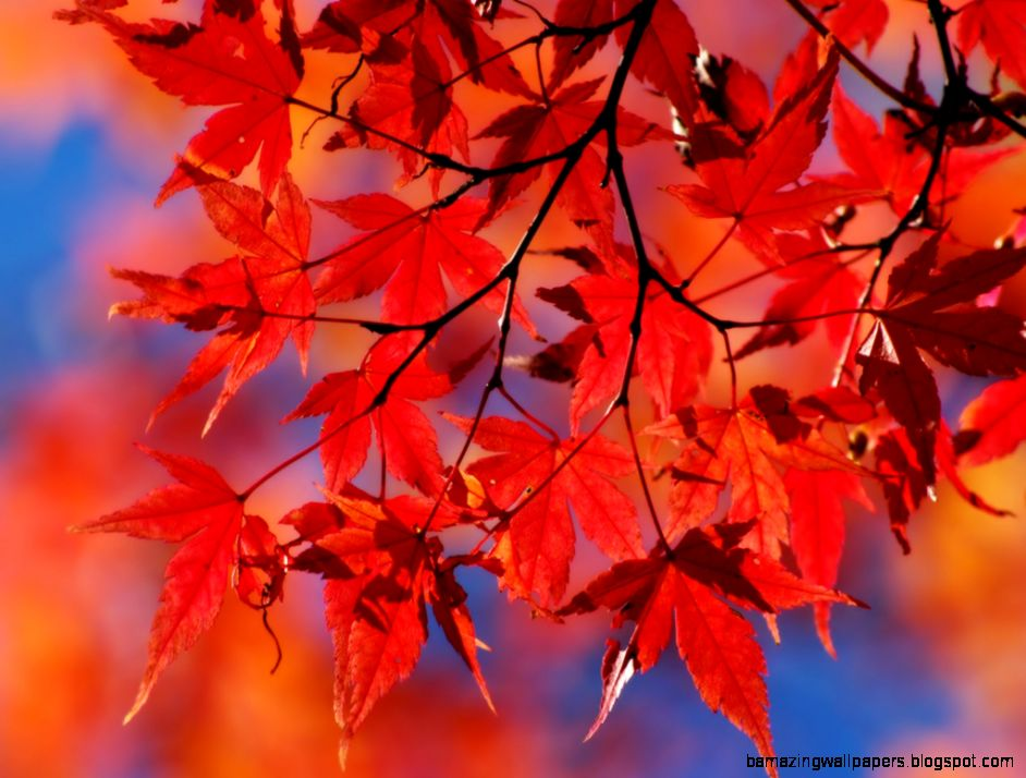 Red Autumn Leaf   wallpaper