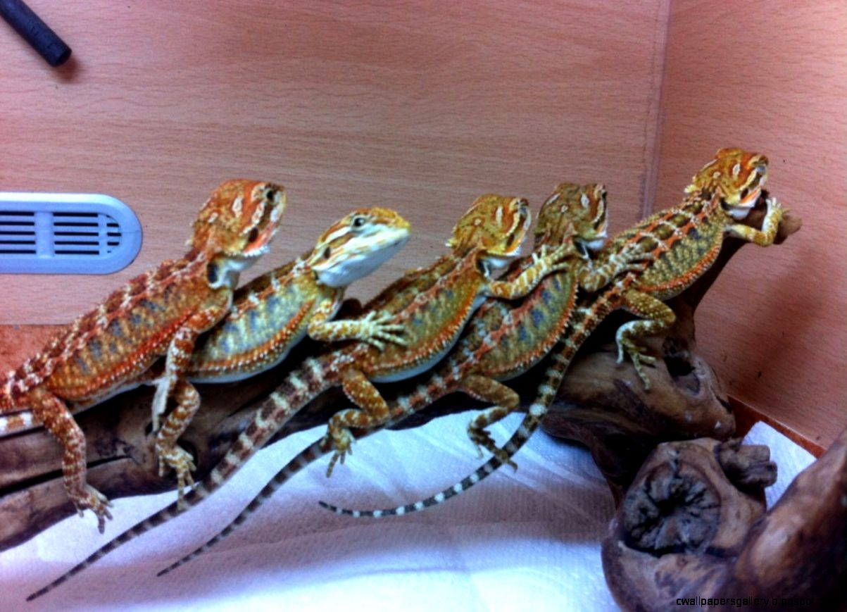 red and blue bearded dragon
