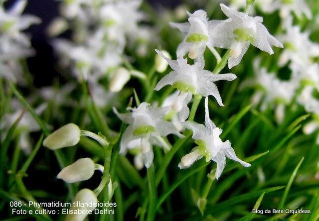 Phymatidium tillandsioides Phymatidium lopesii Ruschi,