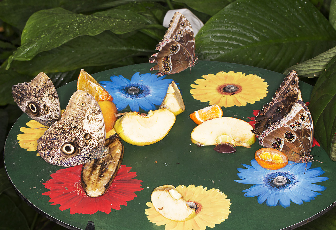 Owls and Blue Morphos at a feeding station. Wisley Gardens, Butterflies in the Glasshouse, 10 February 2015.