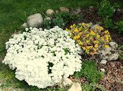 . e aumenta la durata della fioritura oltre che la quantità di fiori. (dsc )