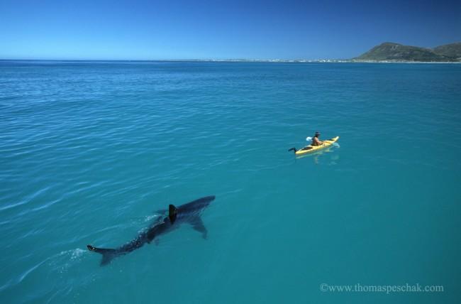 Tiburon blanco siguiendo a un kayaker