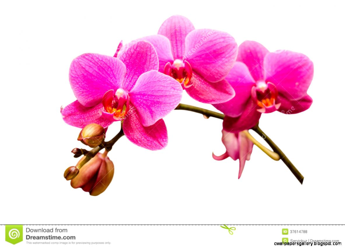 Isolated On White Single Branch Of Purple Orchid Flower Royalty